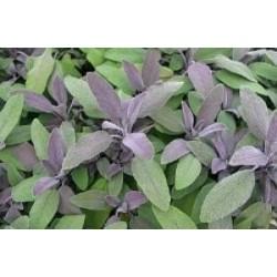 Salvia fresca bio (mazzetto)